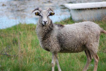 Gutefåret är ett får där både tackan och baggen bär horn.