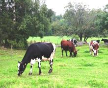 Korna i hagen lockar cirka 170 besökare  om dagen under safarisäsongen.